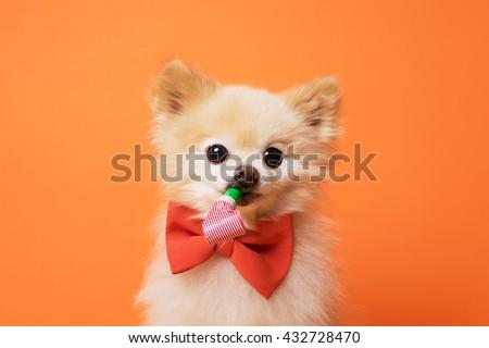 image of little funny dog