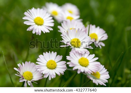 Group of blooming daisies #432777640