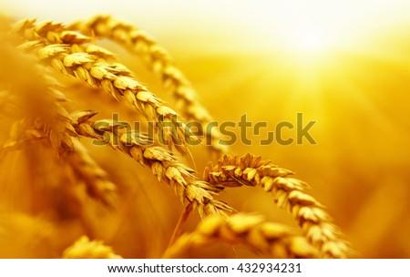 Wheat field on sun.  #432934231