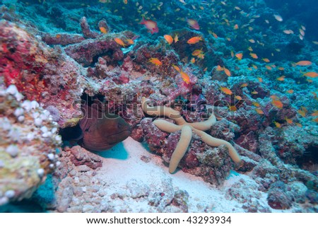 The giant moray (gymnothorax javanicus) with big sea star, Maldives #43293934