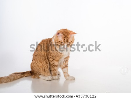 Curious Maine Coon Cat Sitting on the White Table with Reflection. Bubbles in White Background. #433730122