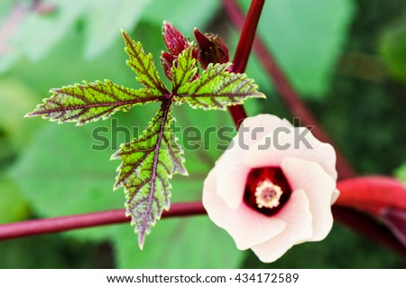 Green leaves and pink flower blossom on tree of Jamaica Sorrel or Hibiscus Sabdariffa in Thailand #434172589