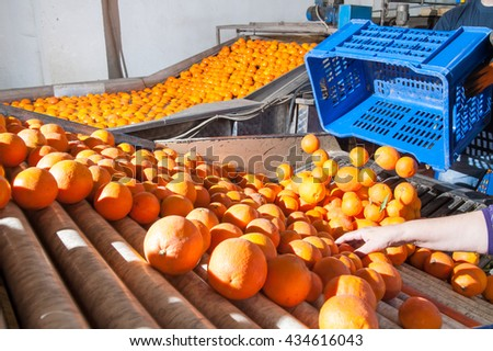 The production line of orange fruits: a worker unloading a fruit box in the defoliation machine #434616043