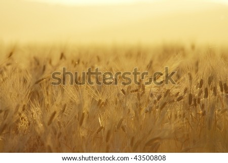 Wheat field during sunset #43500808