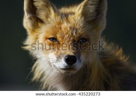 Red Fox #435220273
