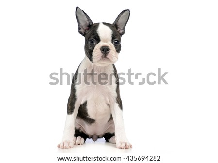 Puppy Boston terrier in a white photo studio