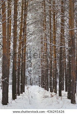 path among the trees in the winter forest   #436241626