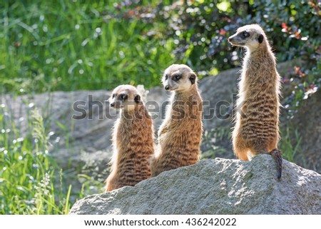 Trinity of Meerkats sitting on a rock in the upright position. The two are looking at the camera and one on the left #436242022