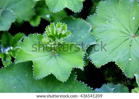 Frauenmantel: green herbal plant growing in europe #436541209