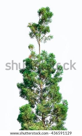 Pine tree on white background #436591129
