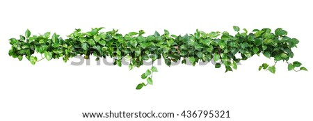 Heart shaped leaves vine, devil's ivy, golden pothos, isolated on white background, clipping path included.