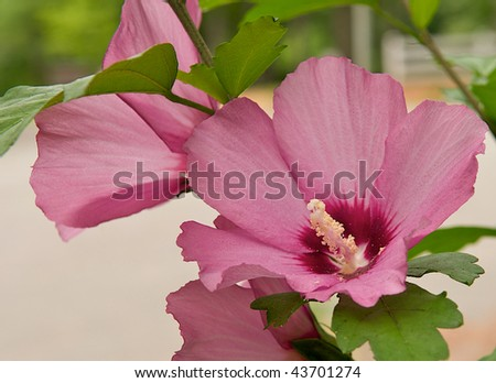 Beautiful blooming rose of sharon shrub shows the success of a green thumb.  Landscaping and gardening image with room for text on the bottom left. #43701274