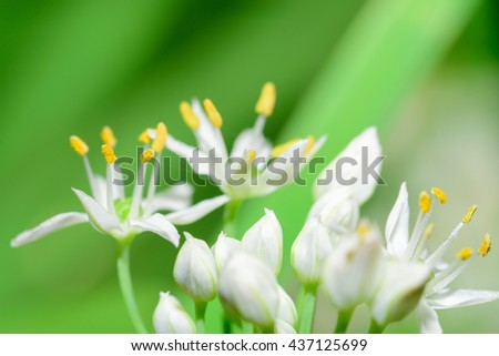 Flowers are white with yellow stamens focus. (soft focus) #437125699