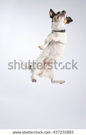 Jack Russel Terrier photographed on Studio #437232883