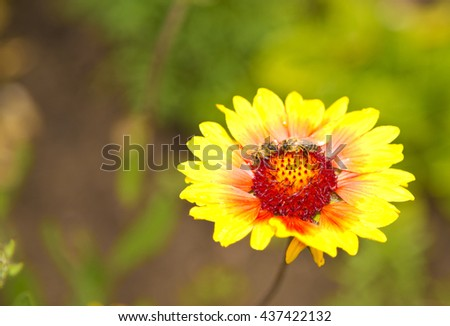 Yellow flower in garden ,green background ,bee ,long ,petals, amazing ,floral, orange , red ,middle ,delicate, special ,pure ,lovely ,beautiful ,outside ,exterior ,natural ,decor ,nature ,gerber #437422132