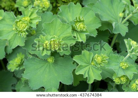 Closeup photo of Lady's mantles leaves in green with small yellow flower buds (Alchemilla vulgaris) during summer in Austria, Europe