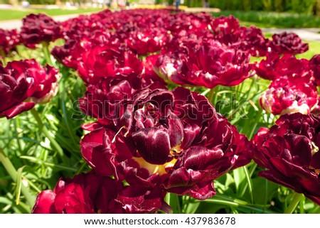 Tulip field in Keukenhof Gardens, Lisse, Netherlands #437983678