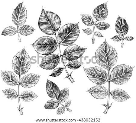 Leaf of roses. Set of hand drawn sketch  on white background.