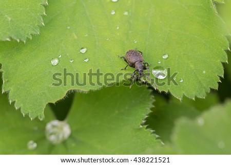 Closeup of small brown European beetle, Black Vine Weevil, on green Lady's mantle leaves #438221521