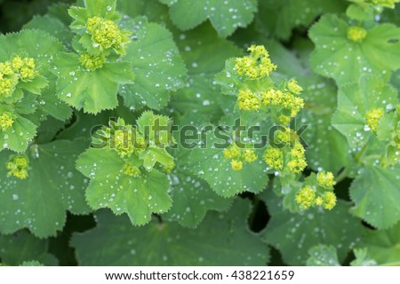 Closeup photo of Lady's mantle leaves and yellow flower buds with drops of water (Alchemilla vulgaris) during summer in Austria, Europe