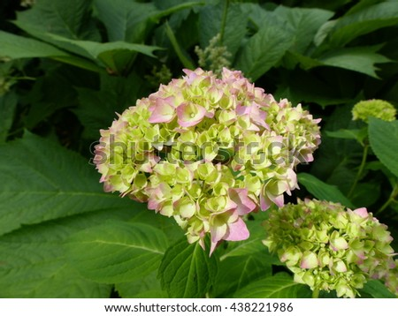Hydrangea macrophylla, plant #438221986