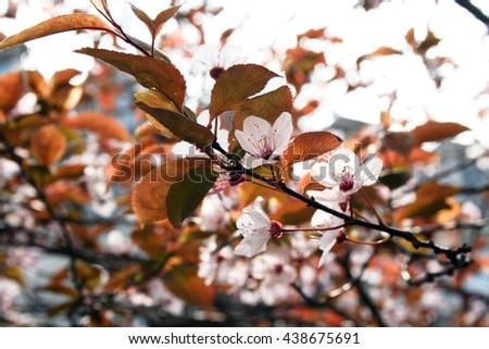 Blooming cherry tree #438675691