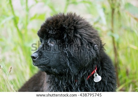 Beautiful Newfoundland puppy sitting on the grass in the garden, shallow depth of field #438795745