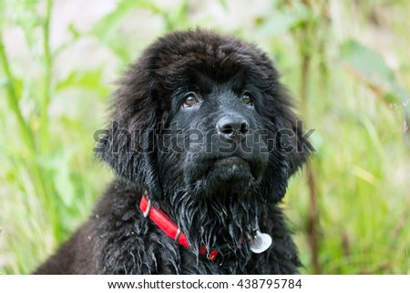Beautiful Newfoundland puppy sitting on the grass in the garden, shallow depth of field #438795784