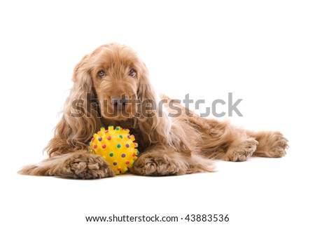 Close up of cute Cocker Spaniel dog with yellow toy, isolated on white background. #43883536