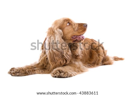 Cocker Spaniel isolated against a white background. #43883611
