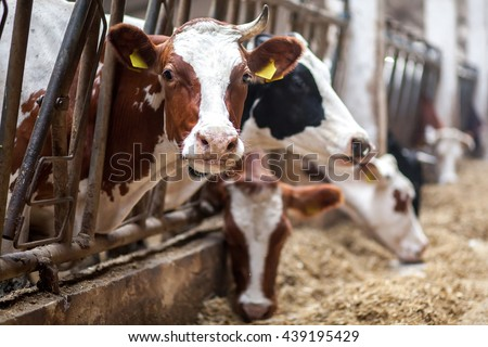 Cows on Farm. Black and white cows eating hay in the stable. #439195429