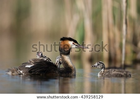 Great Crested Grebe Podiceps cristatus with babies on their backs #439258129