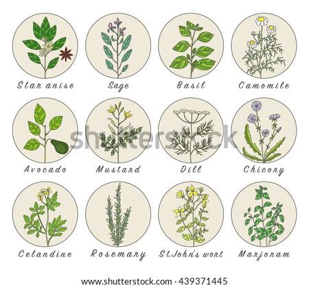 Set of spices, medicinal herbs and officinale healing plants icons. Hand drawn illustrations. Botanic sketches. #439371445