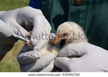 Swabbing throats of baby hicks to test for avian influenza Royalty-Free Stock Photo #439482760