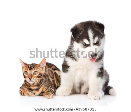 Bengal kitten and Siberian Husky puppy together. isolated on white background #439587313