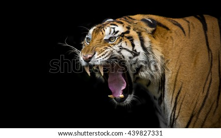 Sumatran Tiger Roaring  Royalty-Free Stock Photo #439827331