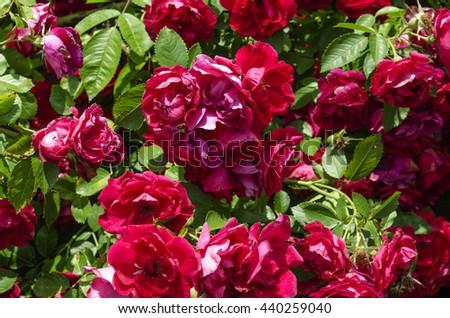 bright red wild roses  #440259040