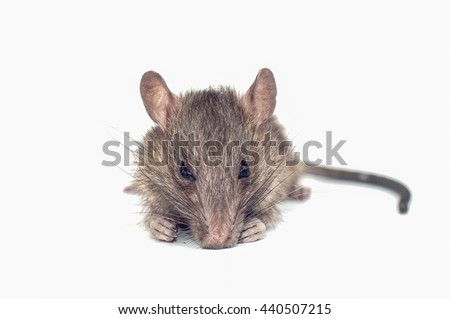 Pet rats are biting teeth gnawing pests and pathogens, leading to removal of leptospirosis not breathing . #440507215