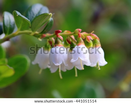 Vaccinium vitis-idaea. Blossoming of a plant on Yamal #441051514