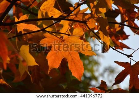 autumn leaves #441096772