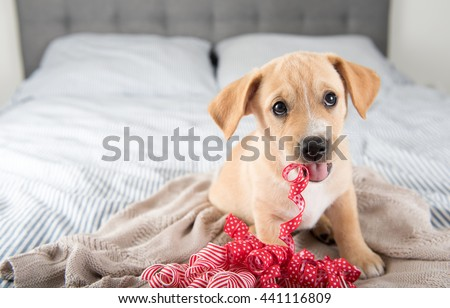 Tan Terrier Mix Puppy Sitting on Human Bed Playing with Red Ribbons #441116809
