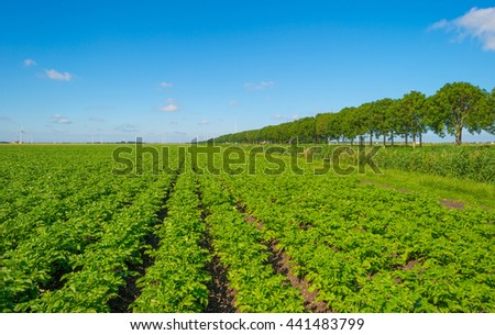 Plowed field with potatoes in summer  #441483799