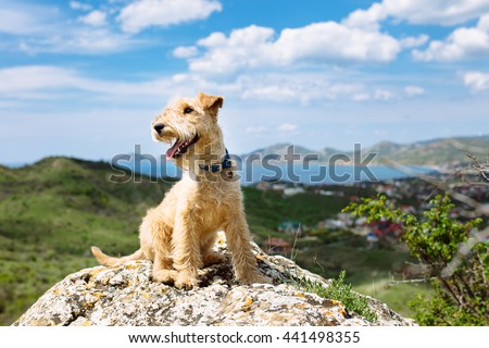 Happy lakeland terrier dog sitting on a large rock on a background of mountains, sea and blue sky #441498355