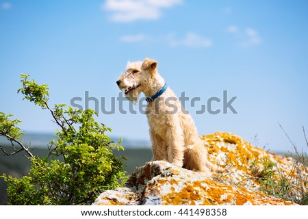 Lakeland terrier dog sitting on a large rock on a background of mountains and blue sky #441498358
