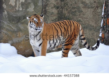 amur tiger on snow #44157388
