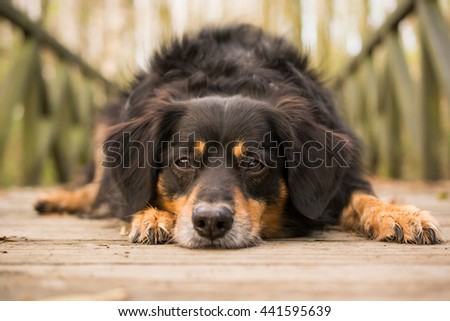 Dog lying on a bridge and looks into the camera #441595639