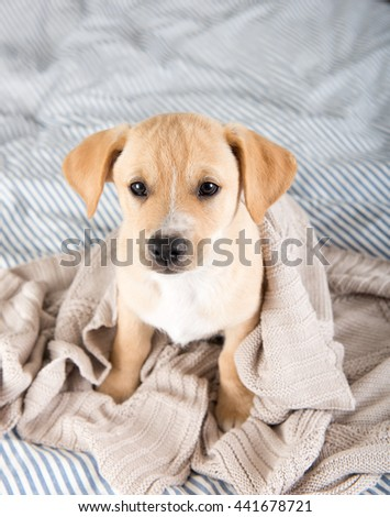 Tan Terrier Mix Puppy Sitting on Human Bed Waiting to Play #441678721