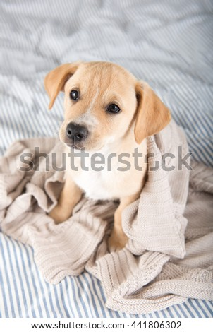 Tan Terrier Mix Puppy Sitting on Human Bed Waiting to Play #441806302