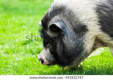 Pig. #441832747