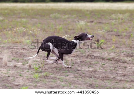 Coursing. Whippet dog running in the field. Camomile field on a sunny day #441850456
